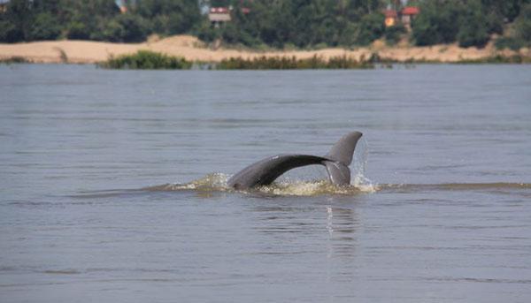 dauphin mekong