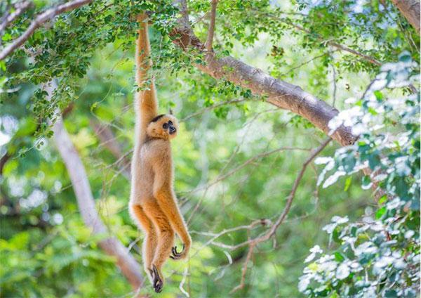 observation gibbon