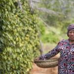 Une vieille dame récolte le poivre depuis les buissons.