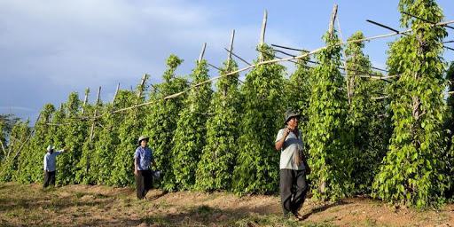 Des agriculteurs qui s'occupent de la récolte du poivre dans la région de Kampot
